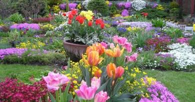 tulipany1 archiwum dzialkowca