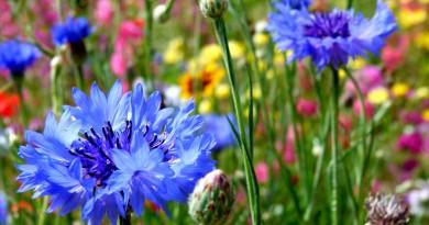 cornflowers-in-meadow-2-low-res