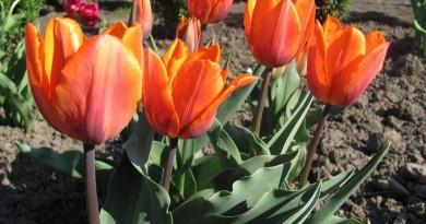 tulip_princess_irene
