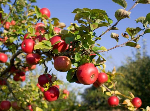 dlaczego-drzewa-owocowe-nie-owocuja-2