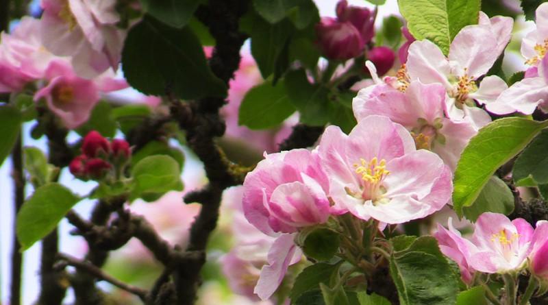 pink-spring-2242332_960_720