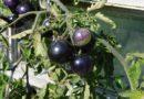 Pomidory mają pasją, dla zdrowia i przyjemności