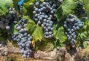Moim zdaniem II (43) – Moje zmagania z winoroślą
