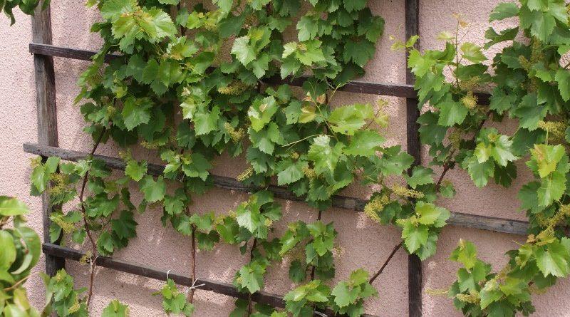 Winorośl na działce